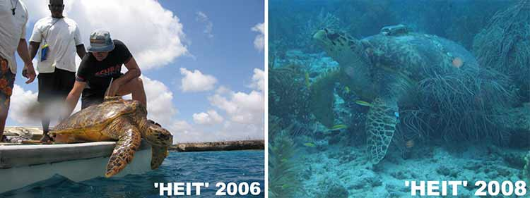 Sea turtle Heit is outfitted with a transmitter and seen on Bonaire again two years later.
