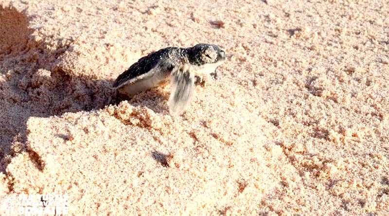 Sea Turtle Nesting has Begun on Bonaire