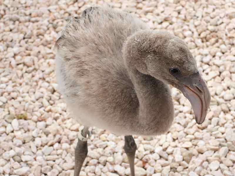 A flamingo chick recovers at Bonaire Wild Bird Rehab.