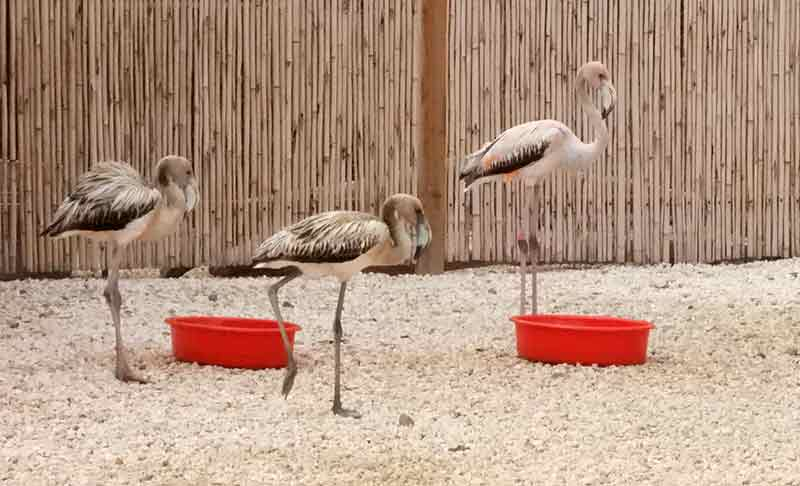 Many prior flamingo residents fly into the rehab center each morning for a little breakfast.