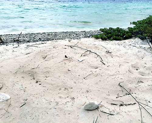 The first sea turtle nest of 2019 laid on Bonaire by a loggerhead turtle.