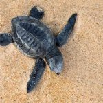 Bonaire's First Turtle Nest of 2019 Discovered by STCB