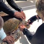 Bonaire Dive Guide Rescues Sea Turtle from Certain Death