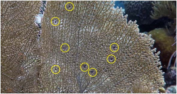 A sea fan showing the Multiple Purple Spots Syndrome (marked by yellow circles), which is caused by a new species of copepod.
