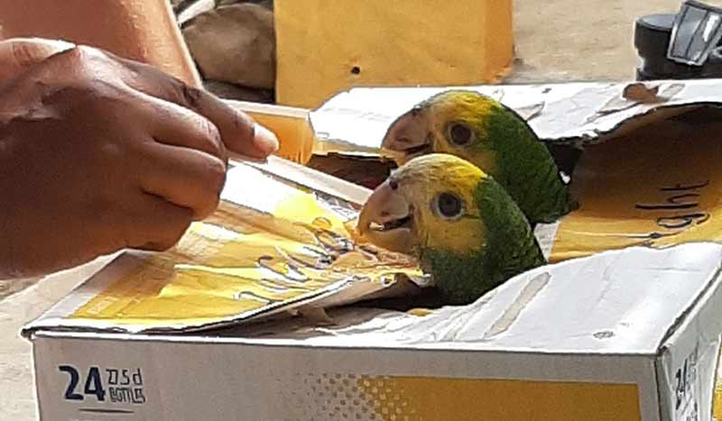 Two Bonaire poached parrots are saved.