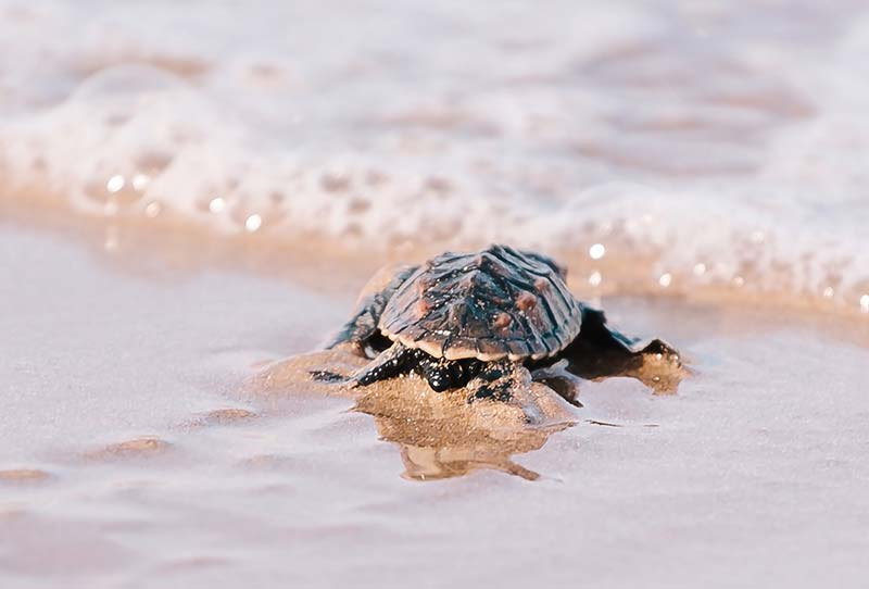 Bonaire's Turtle Population was Augmented with 113 Nests